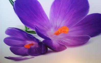 """фотопечать """"фиолетовая лилия"""" на сатиновом потолке - работы студии Потолок32"""